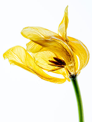 Faded Tulip - p401m2187141 by Frank Baquet
