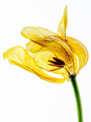 Verblühte Tulpe - p401m2187141 von Frank Baquet