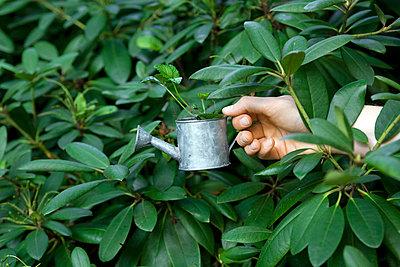 Rhododendron gießen - p4540368 von Lubitz + Dorner