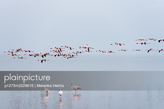 Namibia, Flamingos in the Walvis Bay - p1273m2229615 by Melanka Helms
