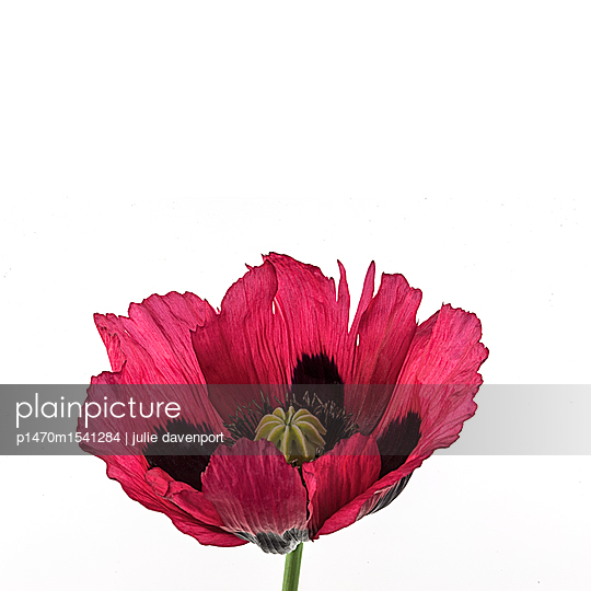 Red Poppy - p1470m1541284 by julie davenport