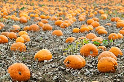 Pumpkin field - p1057m1010354 by Stephen Shepherd