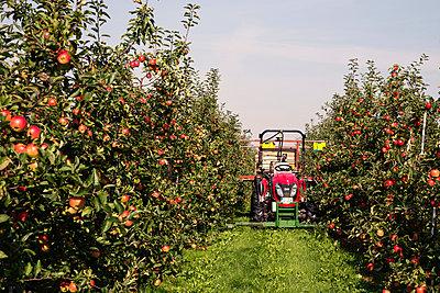 Apfelernte Altes Land - p1222m1026370 von Jérome Gerull