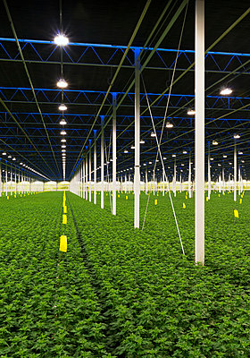 Greenhouse specialised in growing Chrysanthemums, Ridderkerk, zuid-holland, Netherlands - p429m1022550 by Mischa Keijser