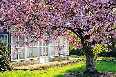 Cherry blossom - p0110459 by Daniela Podeus