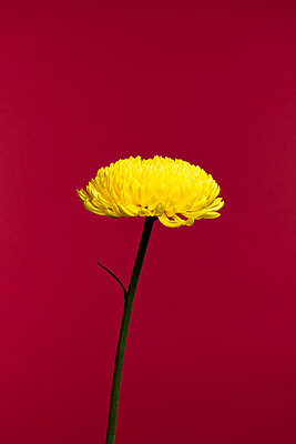 yellow spider mum chrysanthemum flower against red background - p919m2204178 by Beowulf Sheehan