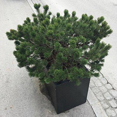 Pflanze im Kübel auf der Straße - p1401m2258564 von Jens Goldbeck