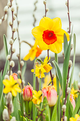 Daffodils and tulips - p312m2078745 by Marie Linnér