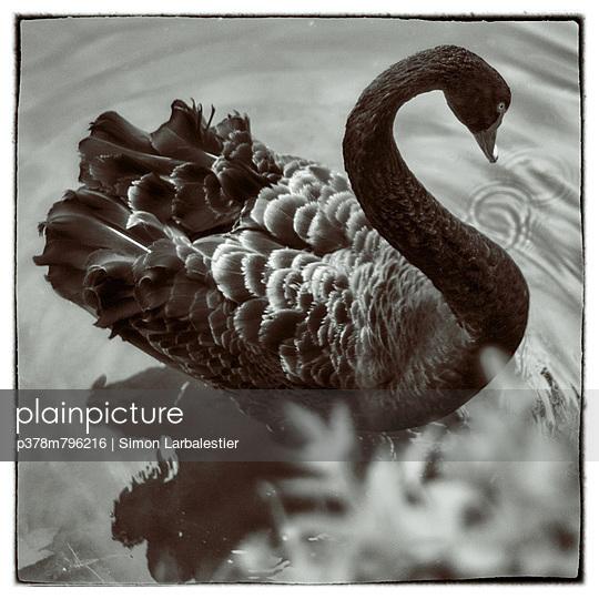Black swan - p378m796216 by Simon Larbalestier