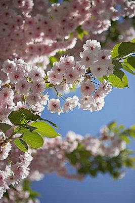 Sunlit flowering cherry blossom (sakura) London UK - p349m695302 by Jon Day