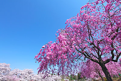 Cherry blossoms in full bloom, Japan - p307m1535065 by Tetsuo Wada