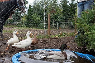 Ducks - p703m865449 by Anna Stumpf