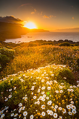 Rocky coast at the Ponta da Sao Lourenco and spring flowers at sunset, Eastern tip of the island, Madeira, Portugal, Atlantic - p871m2018681 by Frank Fell