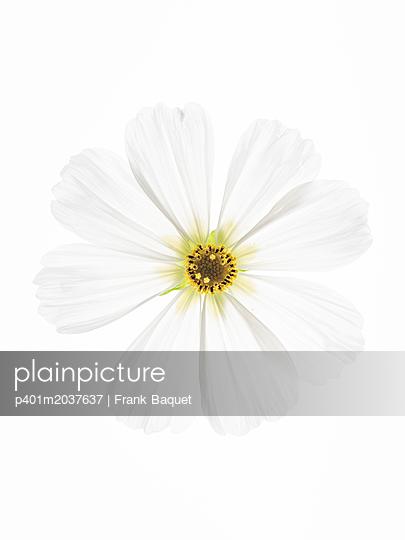 Kosmeenblüte - p401m2037637 von Frank Baquet