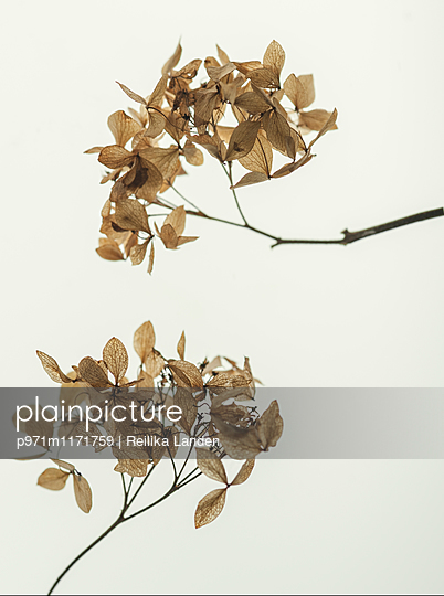 Dried flowers - p971m1171759 by Reilika Landen
