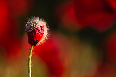 Red poppy bud growing in field - p300m2202448 by Anke Scheibe