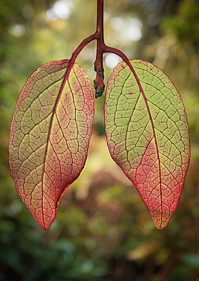 Leaves in shape of lungs - p429m1181105 by Matt Walford