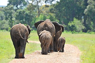 Elephants on the road - p533m1134185 by Böhm Monika