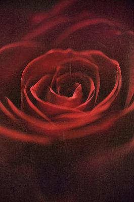 Rose close-up - p971m889730 by Reilika Landen