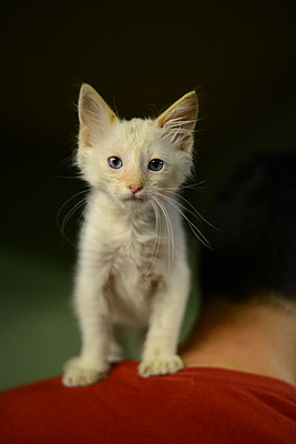 White kitten standing on a shoulder - p1631m2208676 by Raphaël Lorand