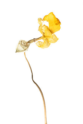 Wilted daffodil in front of white background - p919m2193291 by Beowulf Sheehan