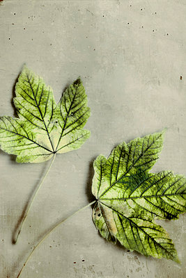 Zwei Blätter  - p450m1039275 von Hanka Steidle