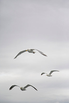 Three Seagulls Flying - p6941982 by Andrew Geiger