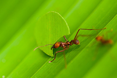 Ant, Costa Rica - p1072m1022484f by DIANA DUARTE