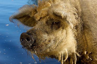 Mangalitza Wollschwein geht baden - p1099m1526302 von Sabine Vielmo
