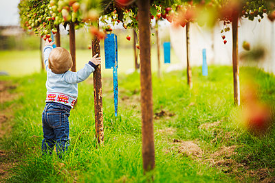 A toddler, young boy crawling around under the raised staging fr strawberry plants in a polytunnel at a PYO, pick your own fruit farm. - p1100m1522423 by Mint Images