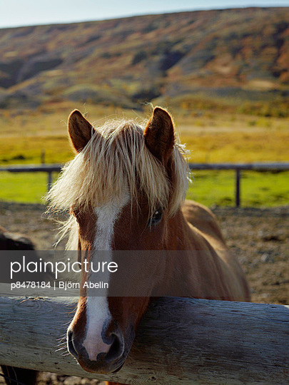 Horse, Iceland   - p8478184 by Björn Abelin