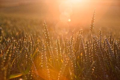 Wheat field - p1057m1010314 by Stephen Shepherd