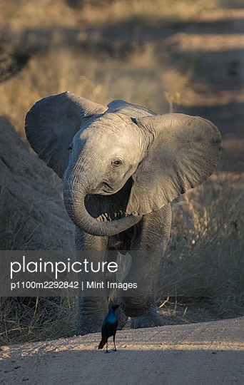 An elephant calf, Loxodonta africana, charges a glossy starling, Lamprotornis nitens - p1100m2292842 by Mint Images