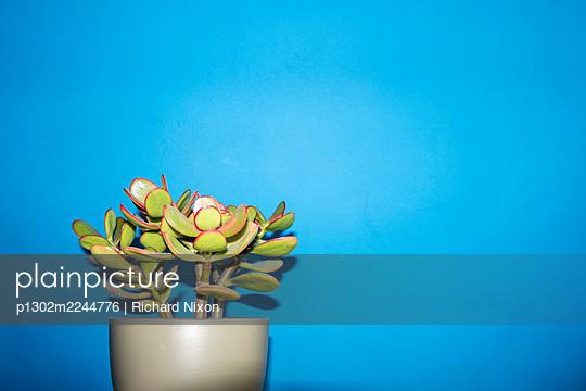 A succulent house plant against a blue wall - p1302m2244776 by Richard Nixon
