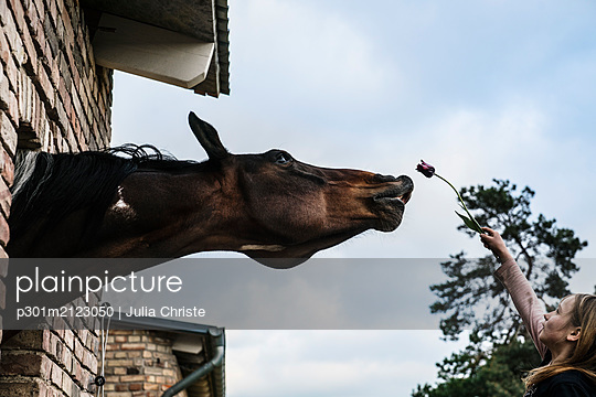 Girl showing tulip to curious horse leaning out barn window - p301m2123050 by Julia Christe
