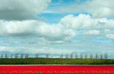Tulip fields - p1132m1039969 by Mischa Keijser