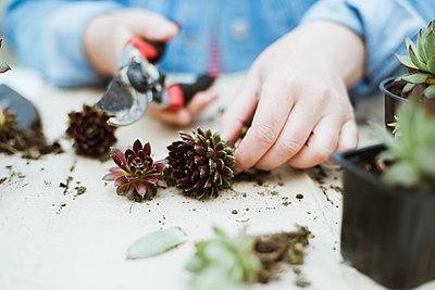 Woman's hands transplanting succulent into new pot. - p1166m2106655 by Cavan Images
