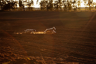 Playful dogs running in rural crop - p301m2017924 by Julia Christe