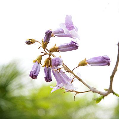 Blauglockenbaum - p606m900702 von Iris Friedrich