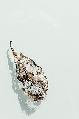 Blattgerippe vor weißem Hintergrund - p739m1118935 von Baertels