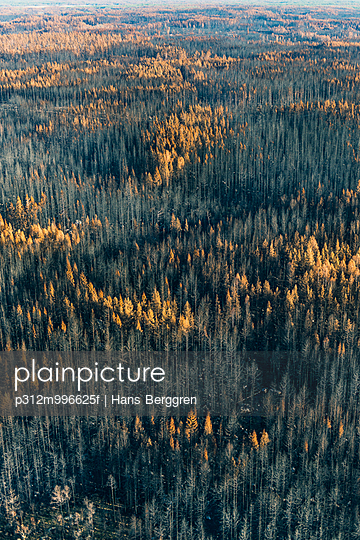 Dead trees in autumn forest - p312m996625f by Hans Berggren