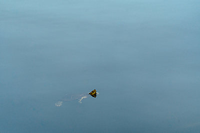 High angle view of painted turtle swimming in lake - p1166m2025294 by Cavan Social