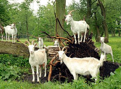 Goats - p2320166 by Britta Warnecke