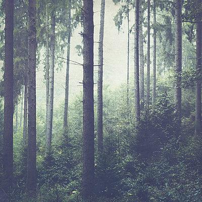 Fir forest and fog - p300m2160420 by Dirk Wüstenhagen