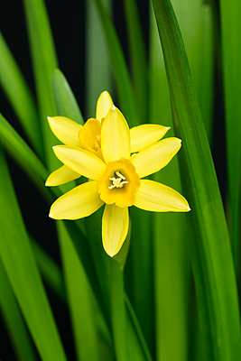 Daffodil flowers and green leaves - p919m2193292 by Beowulf Sheehan