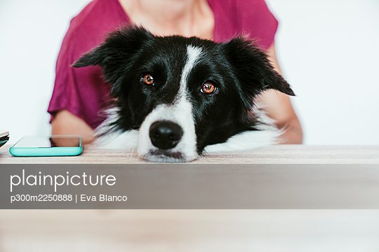 Border Collie resting on table with woman at home - p300m2250888 by Eva Blanco