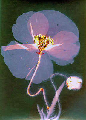 Pressed poppy flower - p945m2278193 by aurelia frey
