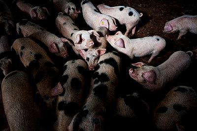 Schweinestall - p1057m1072091 von Stephen Shepherd