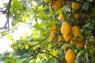 Lemon tree full of fruits - p429m1155771 by Nancy Honey