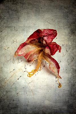 Vertrocknete Amaryllis Blüte - p451m2031961 von Anja Weber-Decker